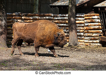 European bison - The European bison (Bison bonasus) can be...