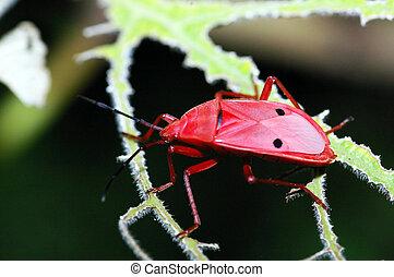 Un, solo, rojo, Hemiptera