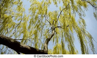 Dense willows by sparkling lake,blue sky background