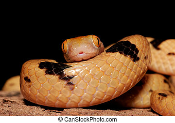 Tiger snake - Close-up portrait of an Eastern tiger snake...