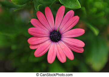 African Daisy - close up of a beautiful pink African daisy