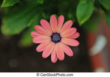 Pink African Daisy - close up of a beautiful pink African...