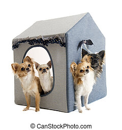 chihuahuas in house dog - portrait of a cute purebred...