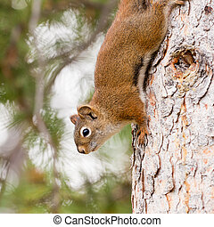 Curious cute American Red Squirrel climbing tree