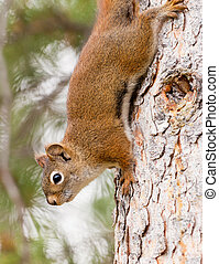Curious cute American Red Squirrel climbing tree - Curious...