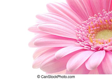 pink gerbera - Close-up of pink gerbera flower against white...
