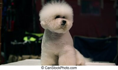 Dog Bichon Frise - little white Bichon Frise sits and stares...