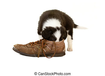 Smelling puppy - Little border collie puppy of 5 weeks old...