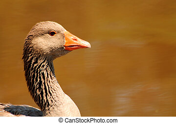 Domestic goose on a pond