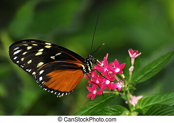 Tiger Longwing Butterfly - An orange and black Tiger...
