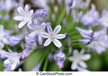 Agapanthus, flores
