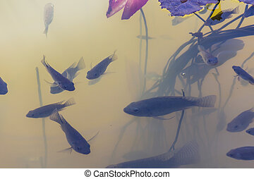 Tilapia fish - Fish swim under the lotus grove
