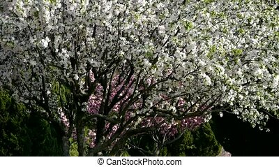 Petals fallingbeautiful cherry blossoms tremble in wind,pine...