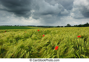 Wheat field with poppies at cloudy summer day
