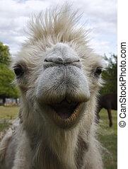 camel - Closeup portrait of a camel's head.