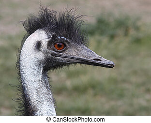 emu - Nearby emu portrait profile red eyes