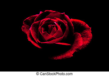 Rose in black - A red rose emerges from the darkness.
