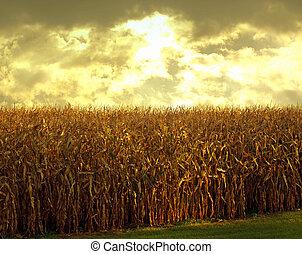 cornfield at dusk - cornfield at sundown scene