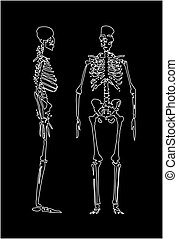 vector illustration - 	Human skeleton	vector illustration