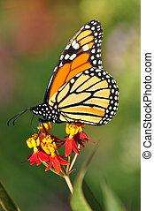 Monarch butterfly - A monarch butterfly pollinates a flower.