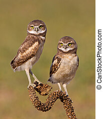 A Pair of young Burrowing Owls - Tow burrowing owls on a...
