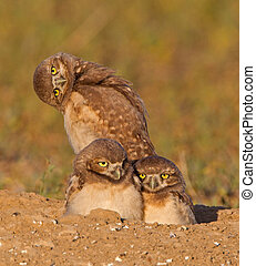 A trio of Burrowing Owls - Three young burrowing owls at the...