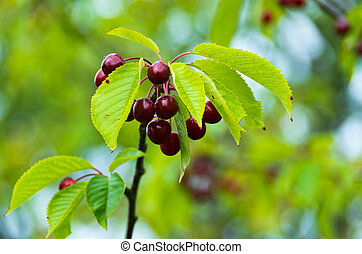 Cherry tree - Branch of cherry tree with wet berries after...