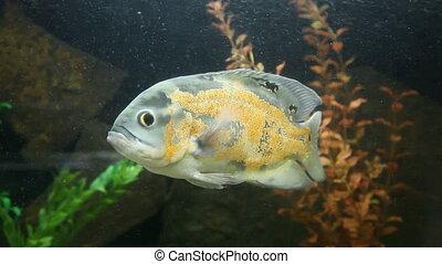 Piranha - Dangerous fish Piranha