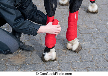 Bandaging of horses' legs. - Bandaging of horses' legs with...