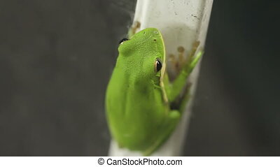 Tree Frog Closeup