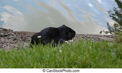 Nutria on the River