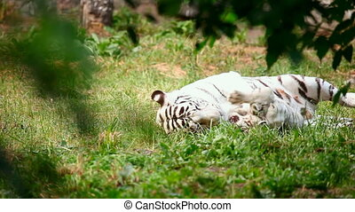 White tigress and cub. - White tigress with cub playing.