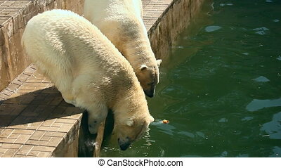 Polar bears. - Two polar bears in ZOO.