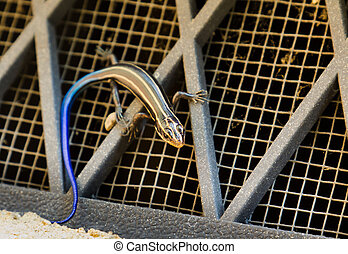 American skink lizard - American Five Lined skink searches...