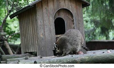 raccoon eats meat. HD video