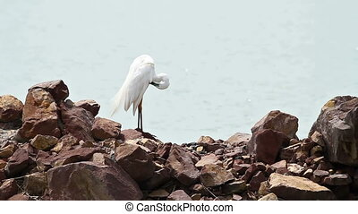 White Egret - Great White Egret cleans itself