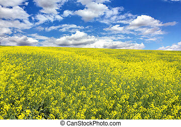 rape field with blue sky