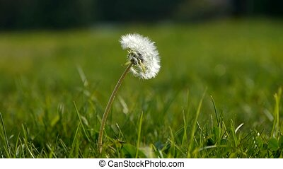 Beautiful dandelion.