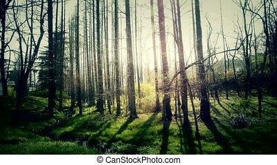 Sunlight woods.Weeds by river,dense cedar dawn-redwood forest,woods,Jungle,shru