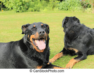 portrait of a purebred french sheepdog beauceron