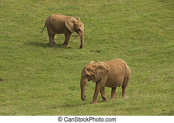 elephants - two elephants in the savannah