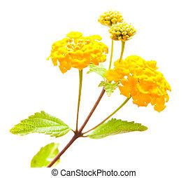 amarillo, lantana