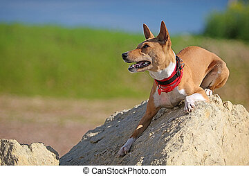 Basenjis dog lie down on rock