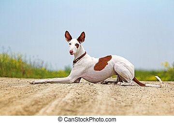 Ibizan Hound dog lie down on a road in field