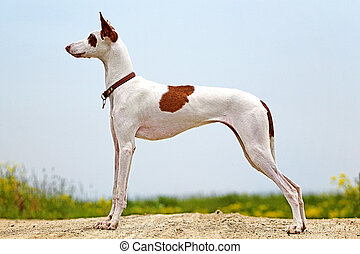 Ibizan Hound dog stay on a road - Ibizan Hound dog sit on a...