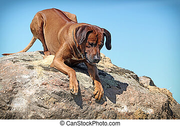 Rhodesian Ridgeback dog lie down on a rock