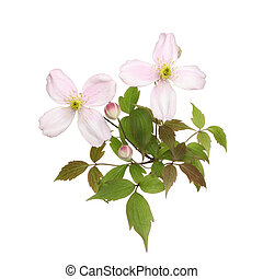 Clematis montana flowers buds and leaves isolated against...