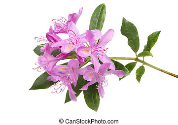 Rhododendron ponticum flower and leaves isolated against...