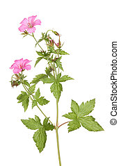 Geranium - Wild geranium flower leaves and buds, also known...