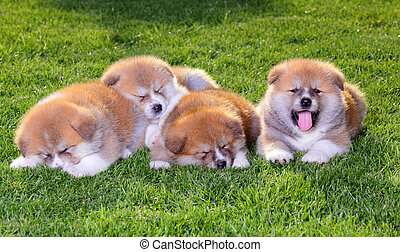 Pets  - Four  Akita Inu puppy dogs on green grass